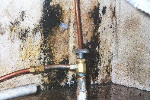 Stachybotrys Mold In Basment
