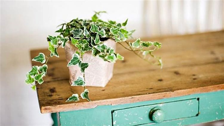 English Ivy In The Home