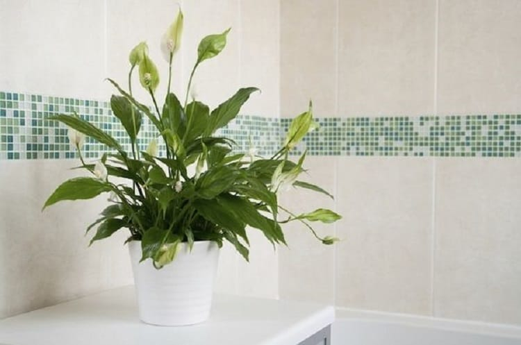 Peace Lily In Bathroom